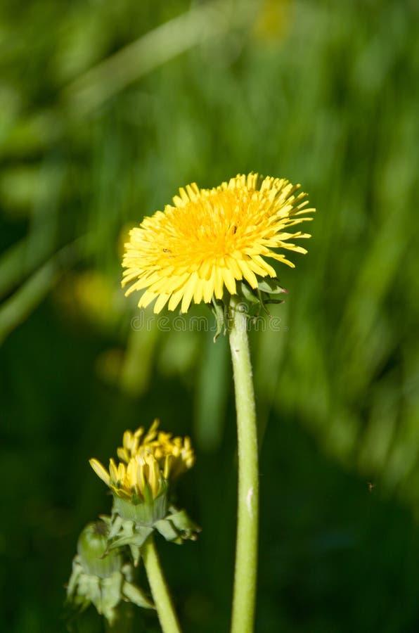 beautiful dandelion under the bright sun stock image