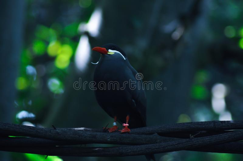 Beautiful dapper bird on branch. Beautiful dapper bird sitting on branch. This bird is known for his white mustache royalty free stock images