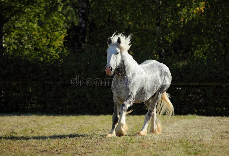 Beautiful dapple grey horse running on the field. Dapple grey draft horse playing in the green grass paddock royalty free stock images
