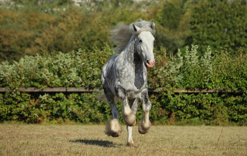 Beautiful dapple grey horse running on the field. Dapple grey draft horse playing in the green grass paddock stock images
