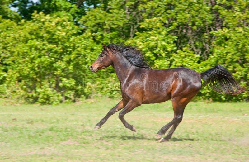 Beautiful Dark Bay Arabian Horse Galloping Stock Images