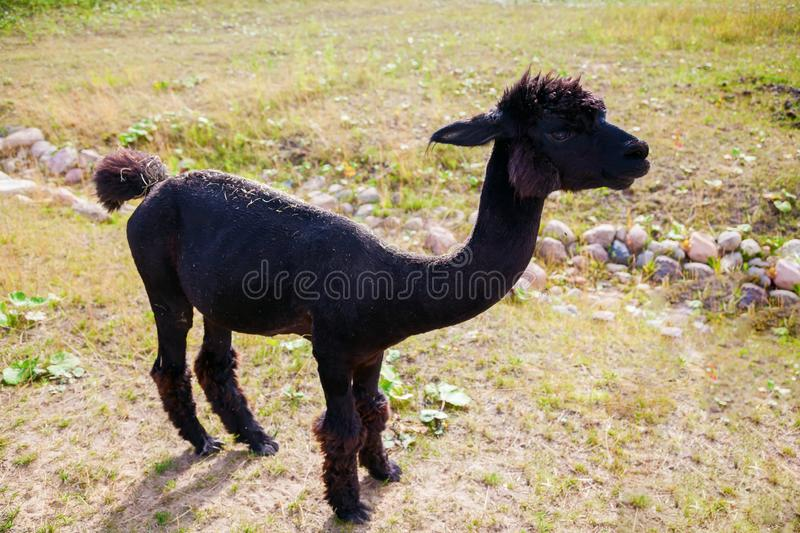 Dark brown alpaca royalty free stock images