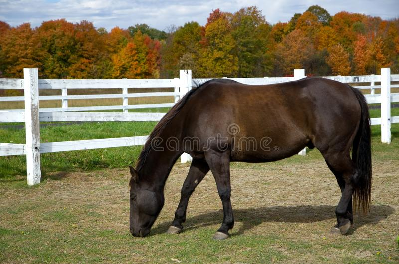 Beautiful Dark Horse with with Fence and Fall Colors. Horizontal royalty free stock images