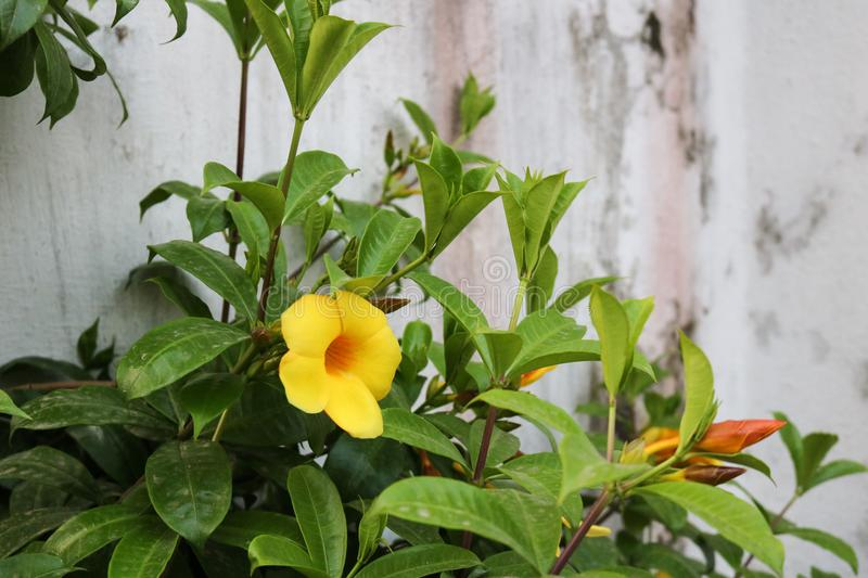Beautiful Dark Yellow Flower in front of house of Bangladeshi Garden royalty free stock images