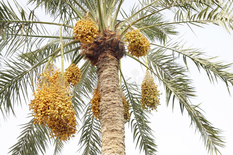 Beautiful date palm with clusters of dates stock photo