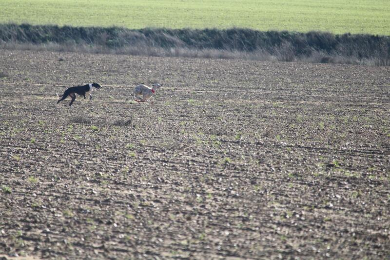 Beautiful day of hunting with dogs running behind the hare trying to pick it up. Galgos liebre royalty free stock photos