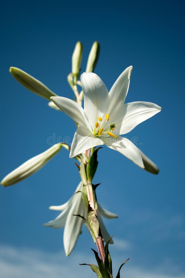 Beautiful day.Lily blooming on a warm summer day royalty free stock photo