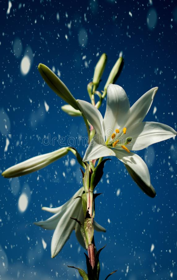 Beautiful day.Lily blooming on a warm summer day stock images