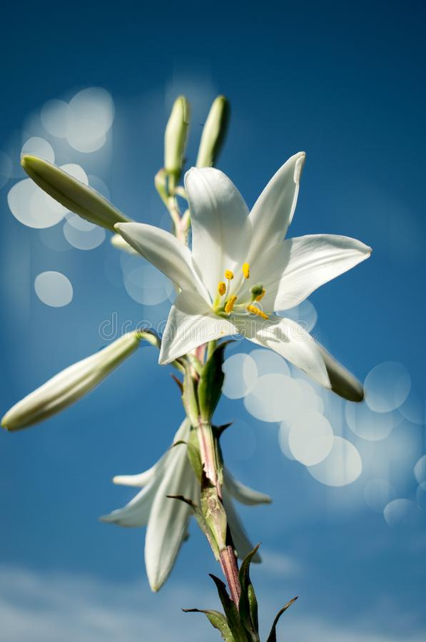 Beautiful day.Lily blooming on a warm summer day stock photos