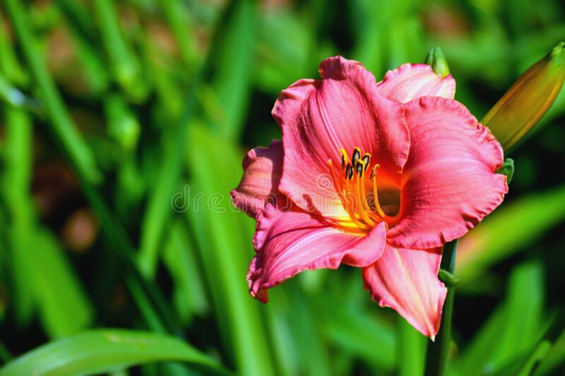 Beautiful Day Lily Flower Background royalty free stock images