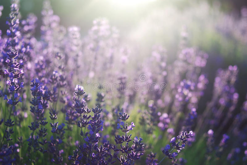 Beautiful deatil of a lavender field royalty free stock photo