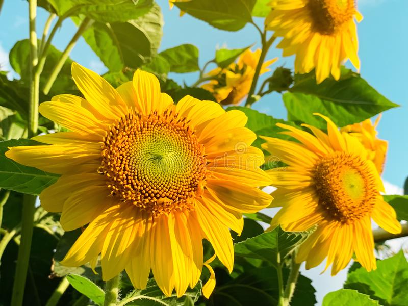 Beautiful decorative sunflower at sunset. Natural background. Yellow flowers. Helianthus. Flower bed in the garden royalty free stock image