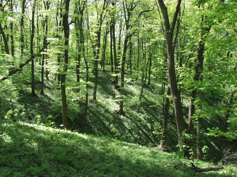 Beautiful Deep Green Forest. Deep green forest in the spring stock image