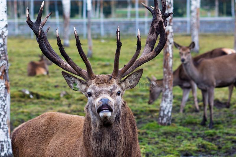 A beautiful deer with big horns walks pasturage in a birch grove among puddles after heavy rain. He looks at the man and eagerly. Inhales the air. Animals live stock images