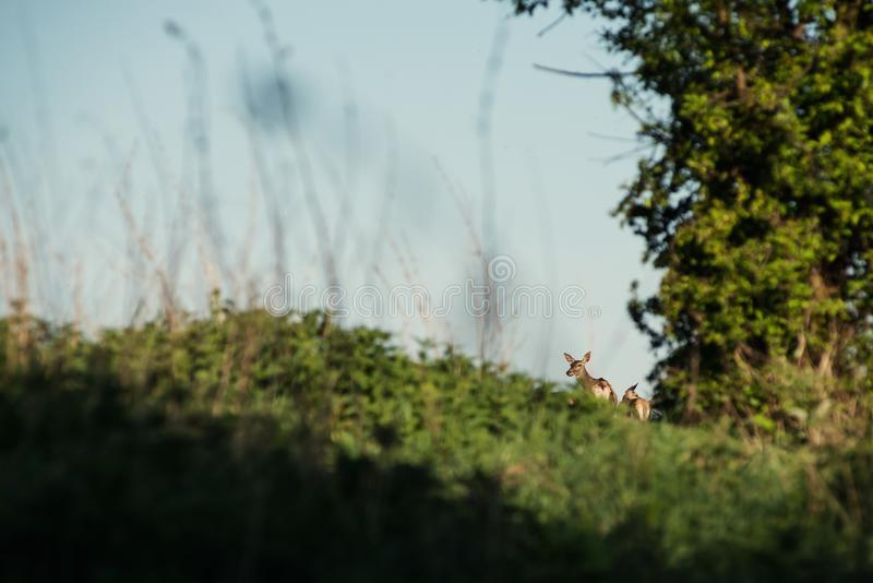 Beautiful deer or doe in sunrise light on meadow, hunting theme, and wildlife scene, capreolus stock images