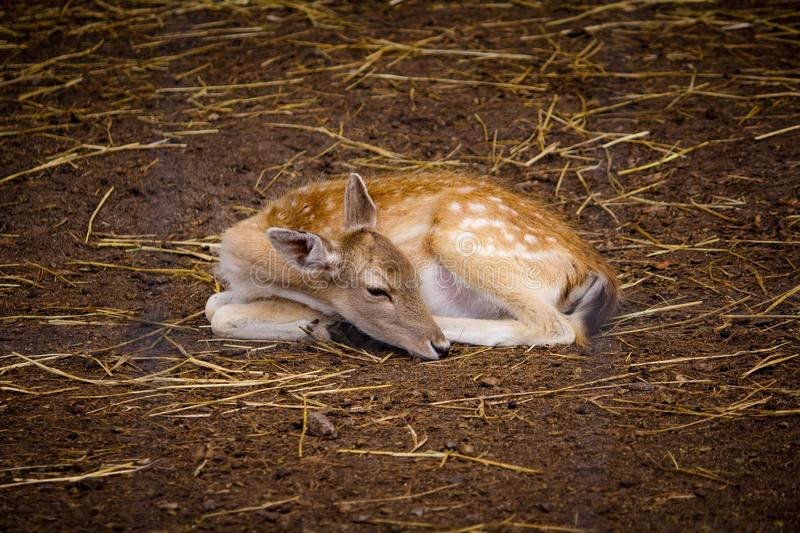 Beautiful deer laying on the ground at a zoo. A beautiful deer laying on the ground at a zoo royalty free stock photos