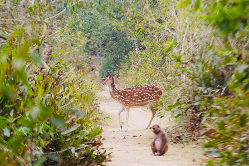 Beautiful deer and naughty monkey. World largest mangrove forest at royalty free stock photography