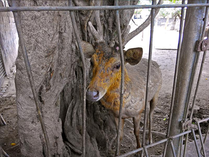 Deer behind iron fence royalty free stock image