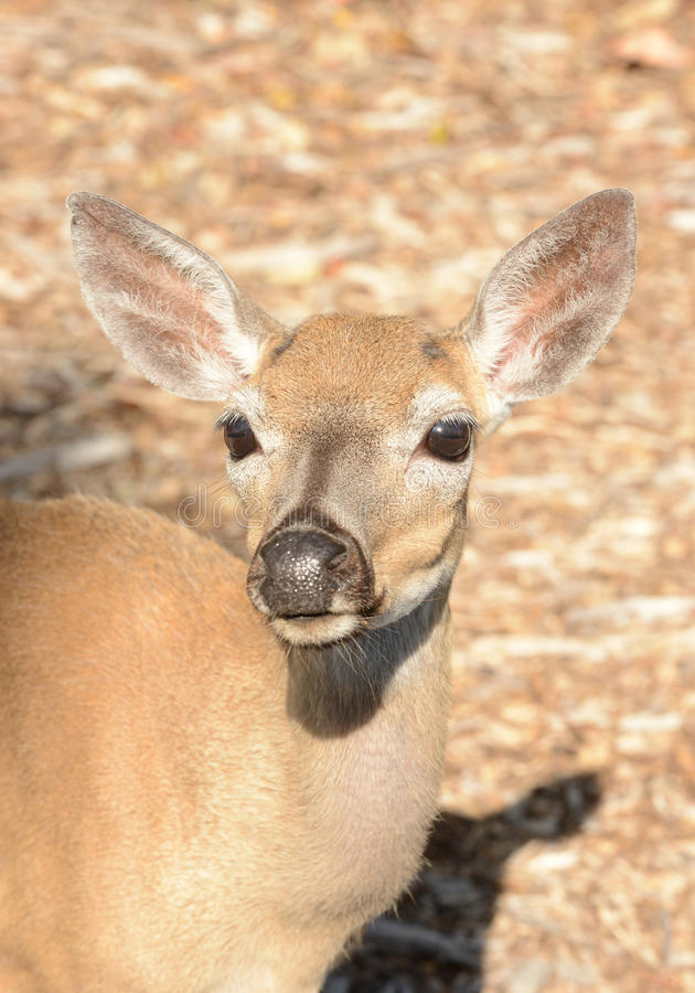 Beautiful deer in the wild. In Florida royalty free stock images