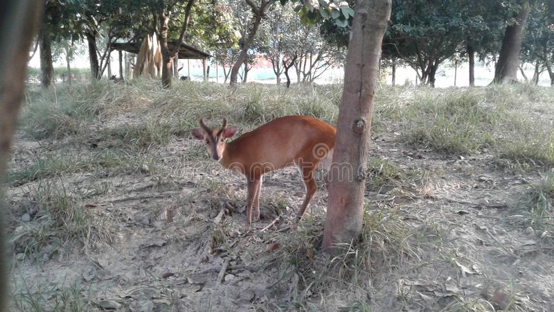 A beautiful Deer in zoo. A beautiful Deer in the Zoo at Jamunkhadi, Jhapa.This place is a picnic point in this area for mechi stock photos