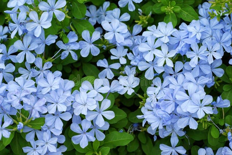 Beautiful delicate blue jasmin in garden.  royalty free stock photo