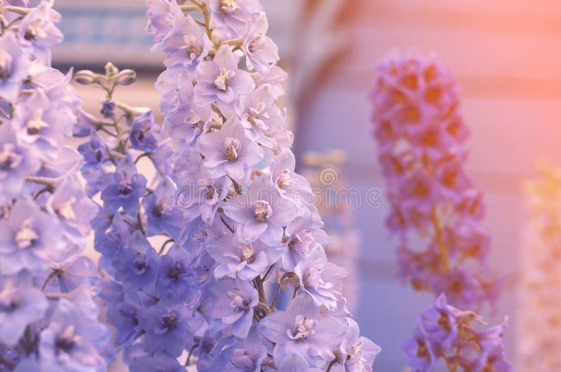 Beautiful delicate blue and purple flowers in the light of the sun for congratulations royalty free stock images