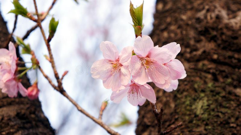 Delicate cherry blossom with leaves stock photography