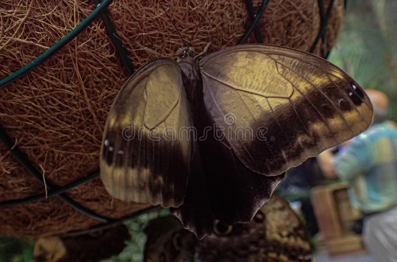 Delicate colorful cultured butterfly in the butterfly house in close-up. Beautiful delicate colorful cultured butterfly in the butterfly house in close-up royalty free stock images