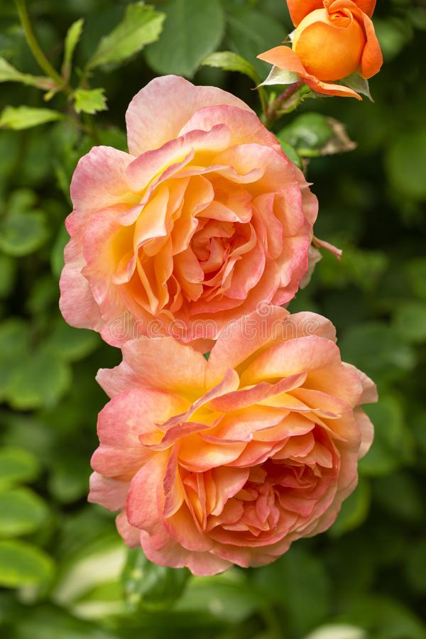 Beautiful, delicate colorful roses in the garden. Blooming orange English roses on a sunny day. stock photo