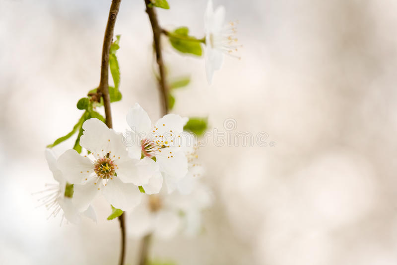 Download Beautiful Delicate Early Spring Flowers. Stock Photo - Image: 24293910