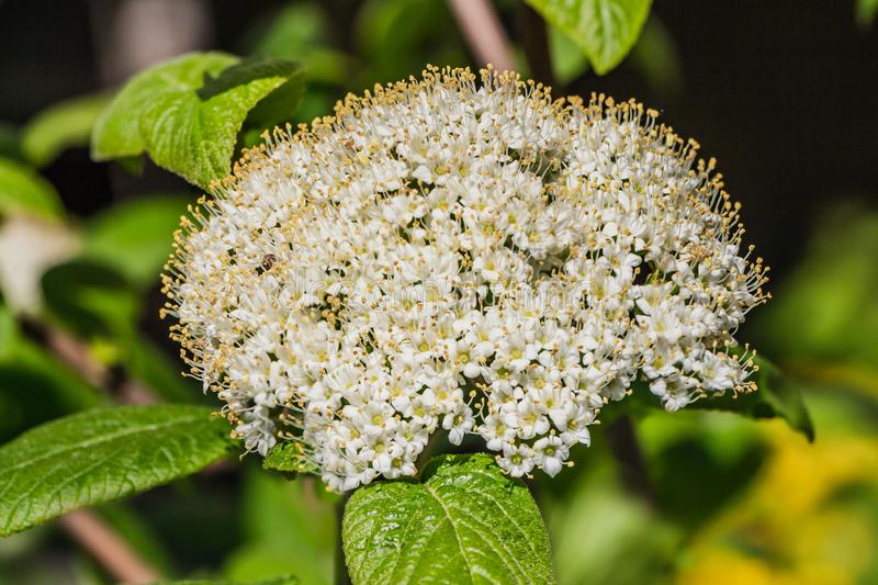Beautiful delicate inflorescence of white flowers with yellow stamens Viburnum lantana or wayfarer or wayfaring tree with green royalty free stock photography