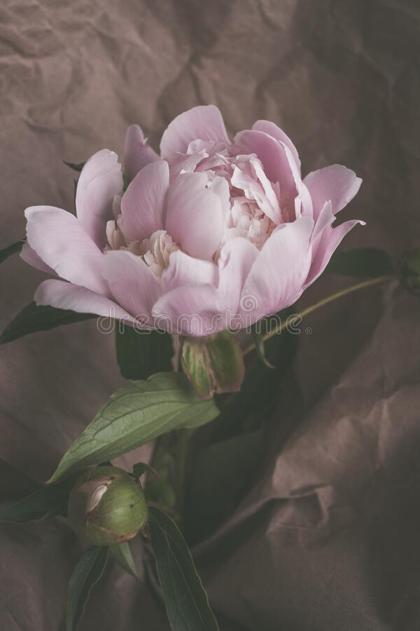 Beautiful delicate light pink peonies flower on paper background close up royalty free stock image