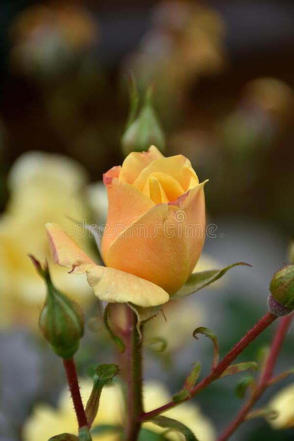 Beautiful delicate orange rose bud in nature with an intense aroma. With small buds royalty free stock image