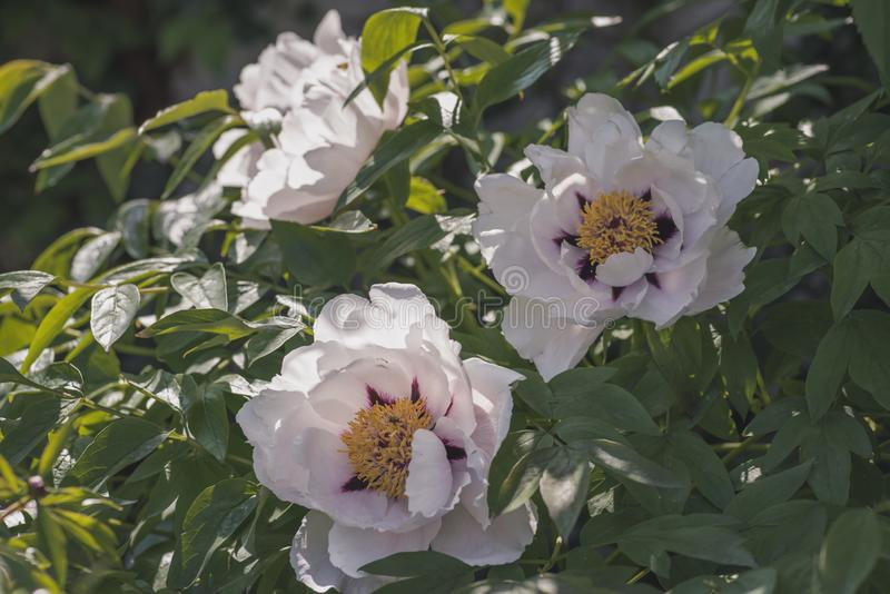 Gentle color peony bush royalty free stock photos