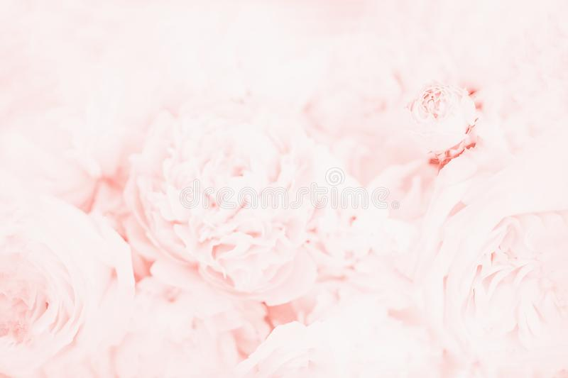 Beautiful delicate peony flowers. Floral background, light pink coral, soft color stock photography
