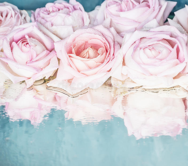 Beautiful delicate pink roses on a blue shiny royalty free stock image