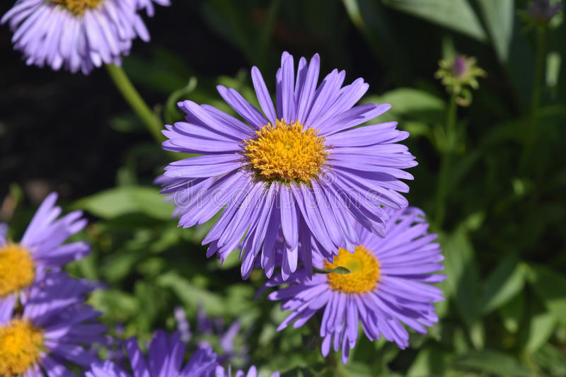Beautiful Delicate Purple Aster Flowers In Nature stock photos
