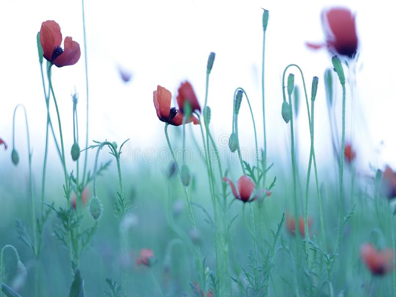 Red poppies growing in the meadow. Beautiful and delicate red poppies growing in the meadow, colorful background, spring day royalty free stock image
