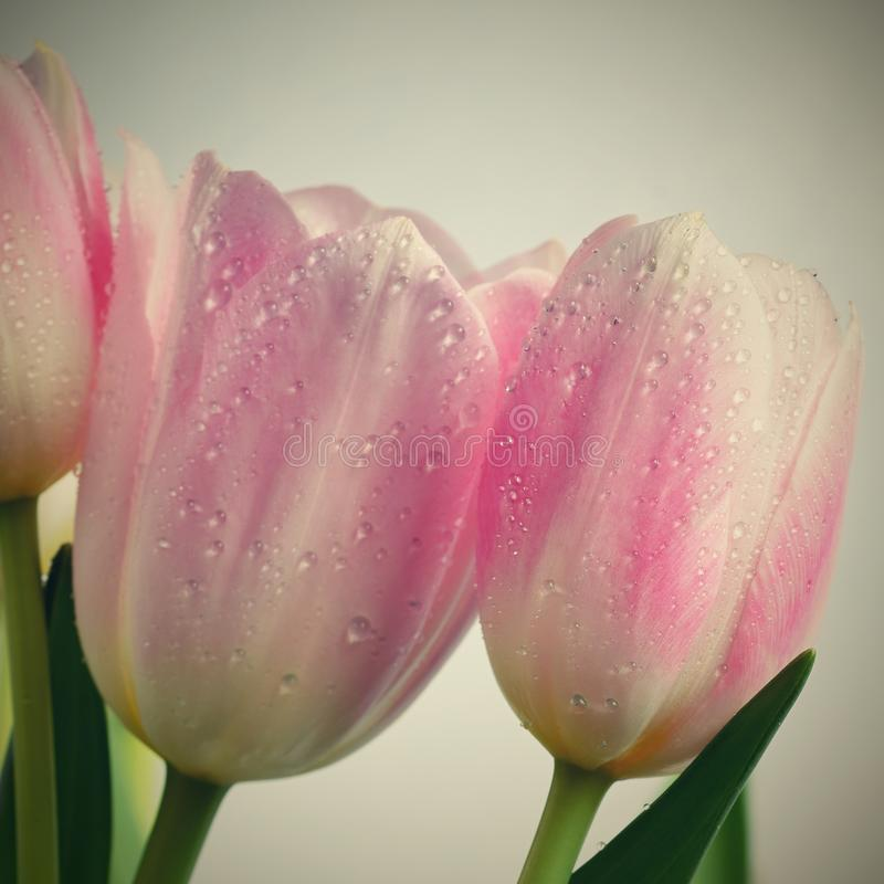 Beautiful delicate spring flowers - pink tulips. Pastel colors and isolated on a pure background. Close-up of flowers with drops o stock photos