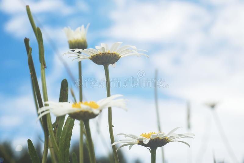 Beautiful and delicate white chamomile flowers close up on blue sky background. Herbal medicine stock photos