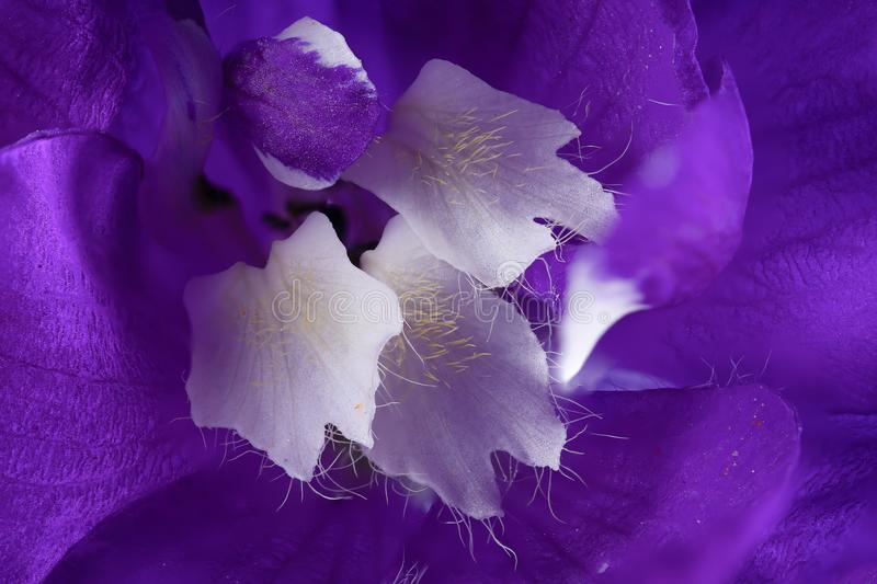 Beautiful Delphinium flower in high detail. Beautiful Delphinium flower close up macro with purple petals and white stamen with pollen and hairs in high stock photo