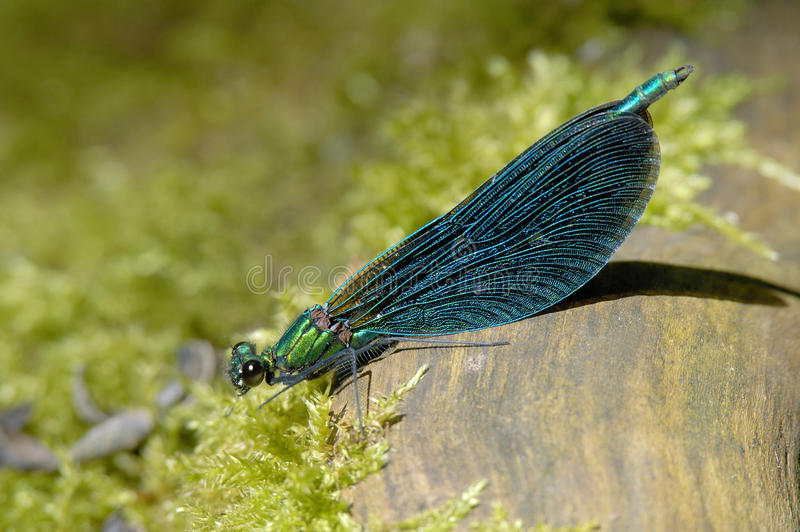 Download Beautiful Demoiselle - Calopteryx Virgo Royalty Free Stock Photos - Image: 12094998