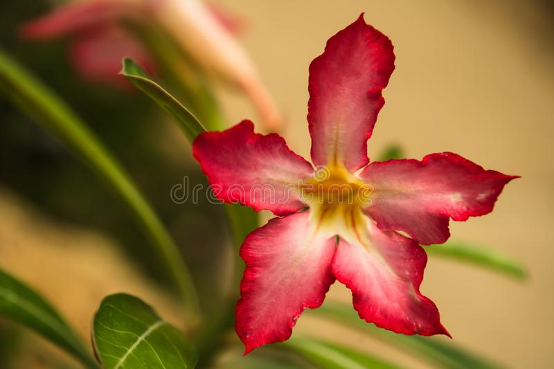 Beautiful Desert rose flower in the garden with blurry green leaf in the background, Mock azalea flowers. Impala lily flower stock image