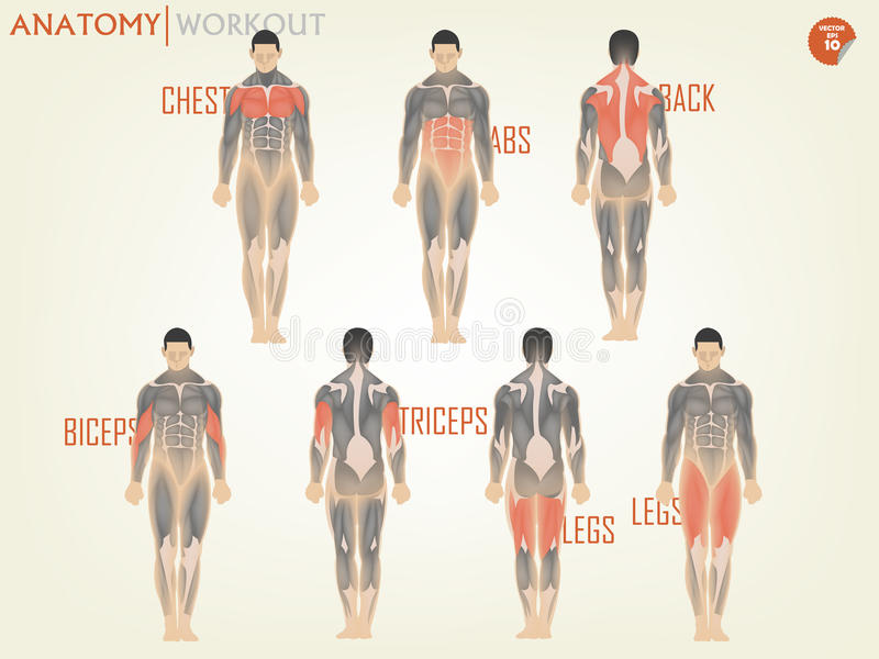 Beautiful design of anatomy for working out at the gym consist of chest stock illustration