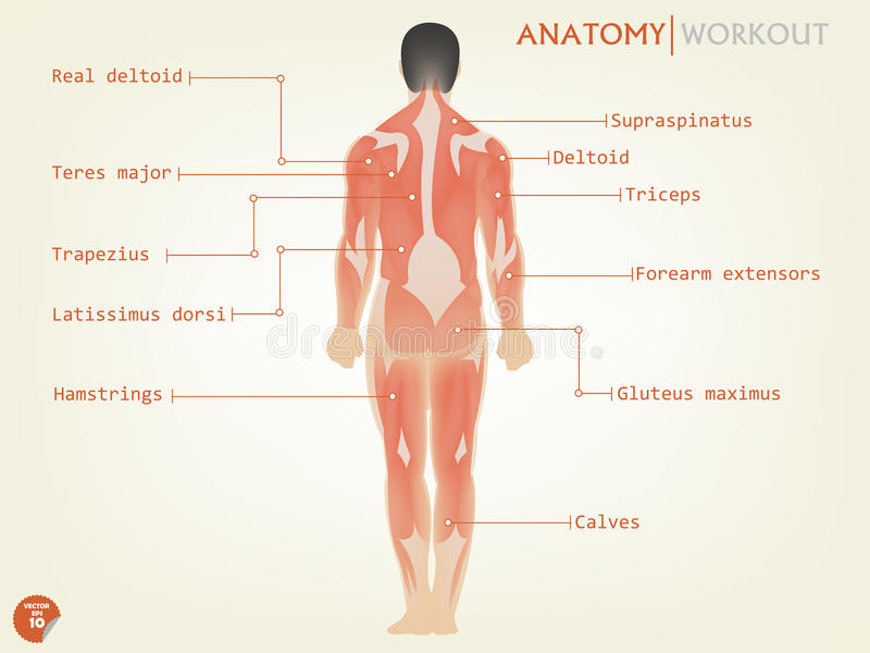 Beautiful design of human anatomy back side with description royalty free illustration