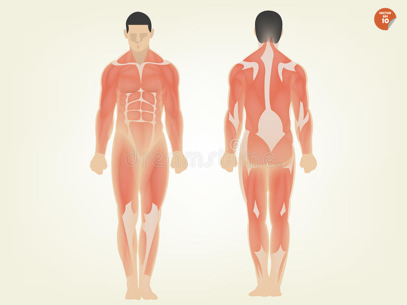 Beautiful Design Of Human Anatomy Front Side And Back Side Stock ...