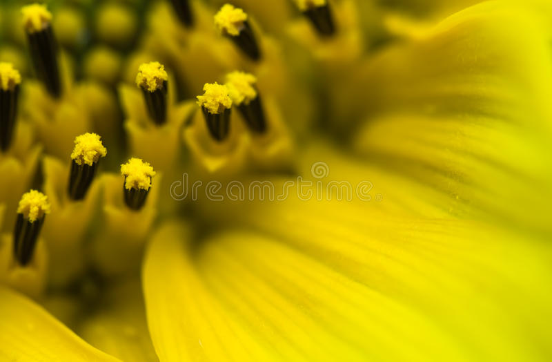 Beautiful detail macro close up of pistils of blooming yellow sunflower with petals, pattern abstract background royalty free stock photos