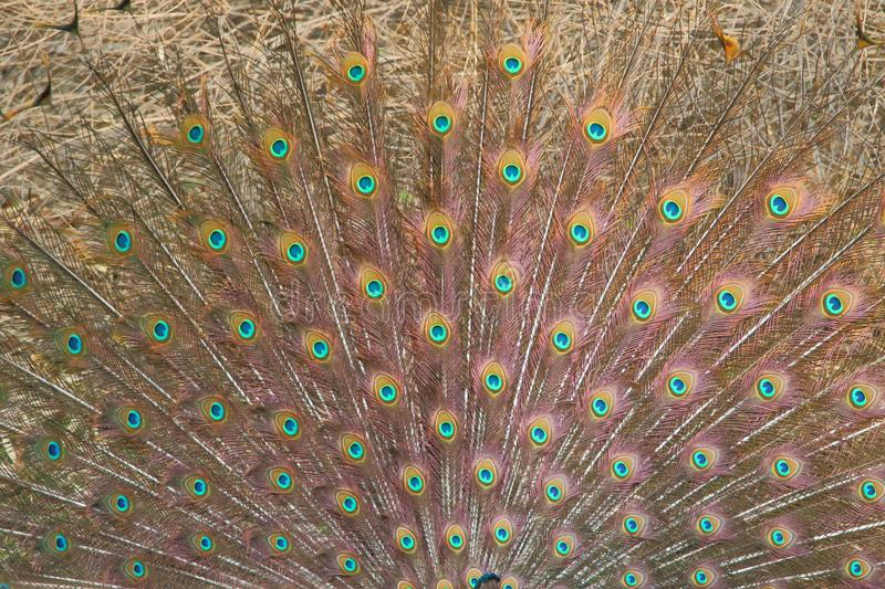 Peafowl feathers, Indian national bird royalty free stock image
