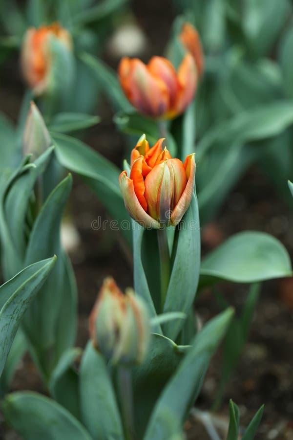 Beautiful Detail Orange Tulips in Garden with Bokeh Green Leafs. royalty free stock photos