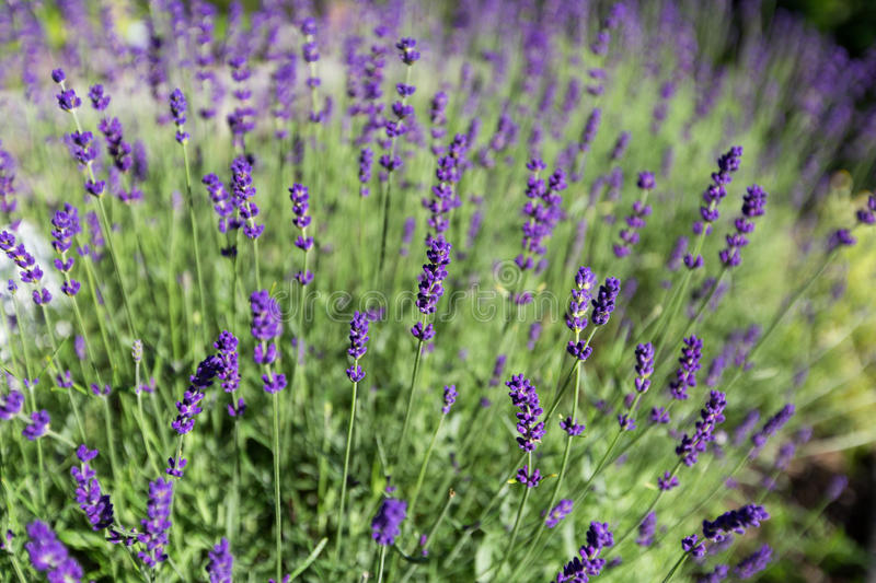 Beautiful detail of scented lavender flowers field. royalty free stock photos